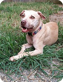 Pit Bull Terrier/Labrador Retriever Mix Dog for adoption in Charlotte, North Carolina - Ridley