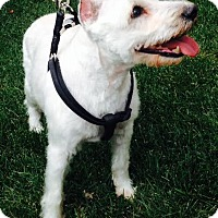Adopt A Pet :: Nicky-Courtesy Post - Tipp City, OH