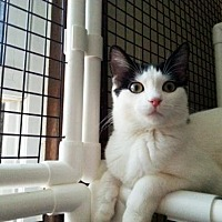 Domestic Shorthair Cat for adoption in Chicago, Illinois - Peanuts, the Aspiring Ambassador