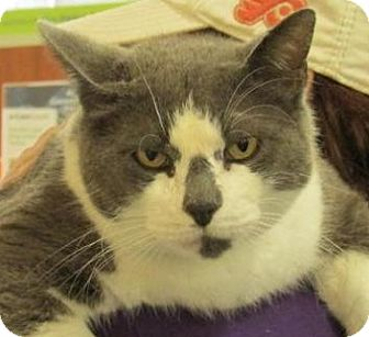 Domestic Shorthair Cat for adoption in Newnan, Georgia - Chico