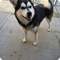 Adopt A Pet :: Koda - Mt Prospect, IL