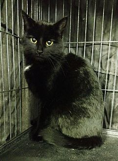 Domestic Shorthair Cat for adoption in Saginaw, Michigan - Susie