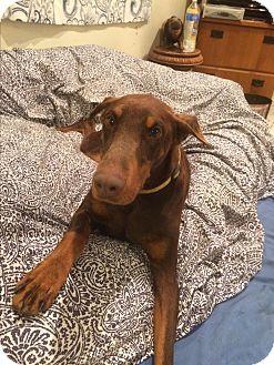 Doberman Pinscher Dog for adoption in Brea, California - Annie