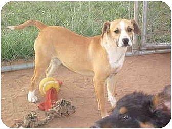 Beagle/Sheltie, Shetland Sheepdog Mix Dog for adoption in Anton, Texas - Glory