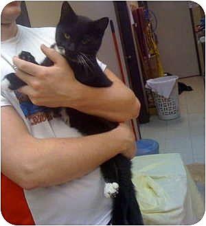 Domestic Mediumhair Cat for adoption in Baton Rouge, Louisiana - Gym