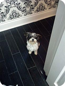 Shih Tzu Mix Dog for adoption in Davie, Florida - Devon