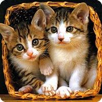 Adopt A Pet :: Tilly's Kittens - Richfield, OH
