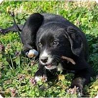 Adopt A Pet :: Caitlin - Staunton, VA