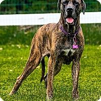 Adopt A Pet :: Hazel - Phoenixville, PA
