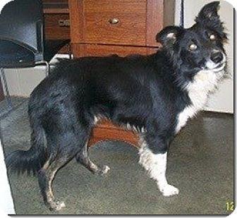 Border Collie Mix Dog for adoption in Charleston, South Carolina - Gryff