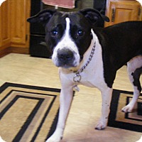 Adopt A Pet :: Tora - Baden, PA