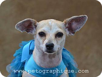 Chihuahua Mix Dog for adoption in Las Vegas, Nevada - Precious