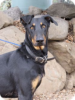 Doberman Pinscher/German Shepherd Dog Mix Dog for adoption in Fillmore, California - Goofy