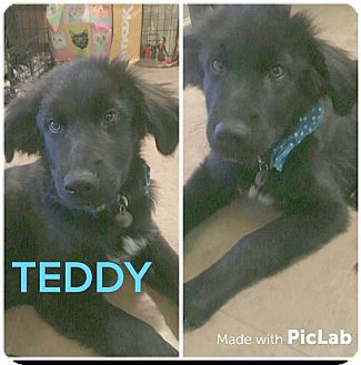 Labrador Retriever Mix Puppy for adoption in Mesa, Arizona - TEDDY 5 MO LAB MIX