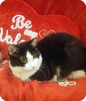 Domestic Shorthair Cat for adoption in Arlington/Ft Worth, Texas - Mochi
