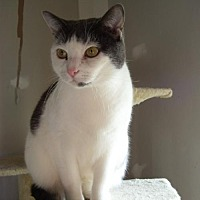 Domestic Shorthair Cat for adoption in McConnells, South Carolina - Noah