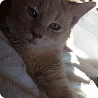 Adopt A Pet :: Trouble - Morganton, NC