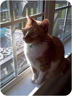 Domestic Shorthair Cat for adoption in Chattanooga, Tennessee - Eiger