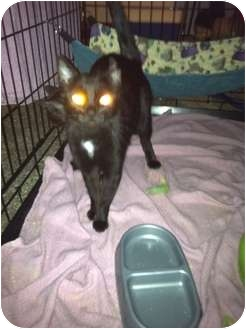 Domestic Shorthair Cat for adoption in Clay, New York - FEB IS ADOPT A BLACK CAT MONTH