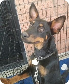 Australian Kelpie Mix Puppy for adoption in Scottsdale, Arizona - Cookie