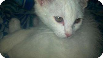 Domestic Mediumhair Kitten for adoption in Scottsdale, Arizona - Alvis- courtesy post