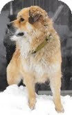 Chow Chow Mix Dog for adoption in Justin, Texas - Einstein