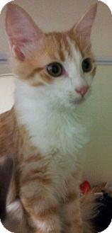 Domestic Mediumhair Kitten for adoption in Chandler, Arizona - Rory