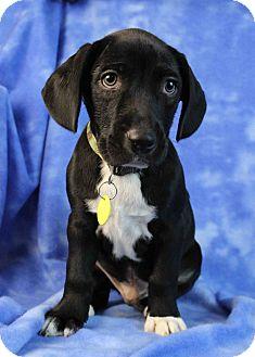 Retriever (Unknown Type)/Australian Kelpie Mix Puppy for adoption in Westminster, Colorado - Need to Breathe