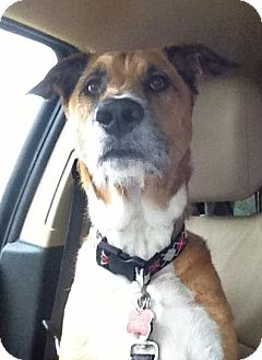 Shepherd (Unknown Type)/Hound (Unknown Type) Mix Dog for adoption in Gainesville, Florida - Stewart