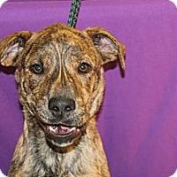 Adopt A Pet :: Blitz - Broomfield, CO