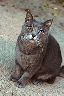 Russian Blue Cat for adoption in St. Louis, Missouri - Scoop- Courtesy post