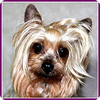 Adopt A Pet :: SISSY BELLE - ADOPTION PENDING - Little Rock, AR