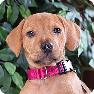 Terrier (Unknown Type, Medium)/Hound (Unknown Type) Mix Puppy for adoption in Columbia, Illinois - Gwen