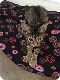 Domestic Shorthair Kitten for adoption in Ashland, Ohio - Bogey