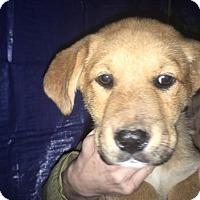Adopt A Pet :: Samara - Rocky Mount, NC