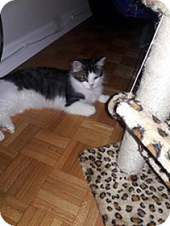 Domestic Mediumhair Cat for adoption in Romeoville, Illinois - Stitch