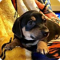 Adopt A Pet :: Duck - ST LOUIS, MO