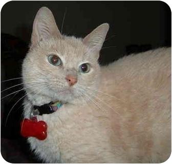 Domestic Shorthair Cat for adoption in Farmington, Arkansas - Jewels