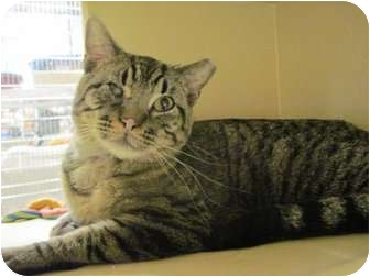 Domestic Shorthair Cat for adoption in The Colony, Texas - Brownie