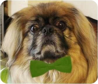 Pekingese Dog for adoption in Beckley, West Virginia - Kato-WV