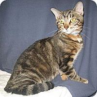 Domestic Shorthair Kitten for adoption in Powell, Ohio - Matrix