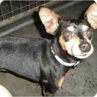 Adopt A Pet :: Little Man - Nashville, TN