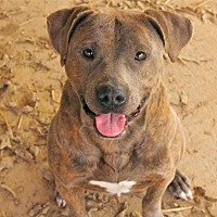 Pit Bull Terrier Dog for adoption in Rossville, Tennessee - Matheo
