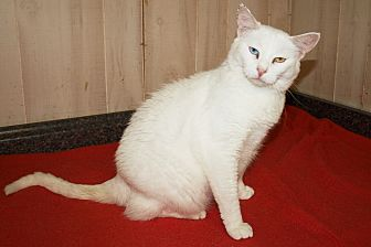 Domestic Shorthair Cat for adoption in Jackson, Mississippi - Rosalyn