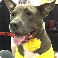 Adopt A Pet :: Blue - Hollywood, FL