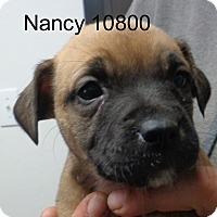 Adopt A Pet :: nancy - Greencastle, NC