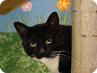 Domestic Shorthair Cat for adoption in Elyria, Ohio - Cat