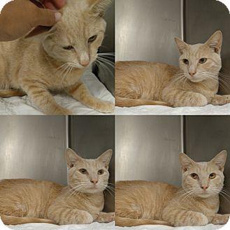 Domestic Shorthair Cat for adoption in Triadelphia, West Virginia - T-1