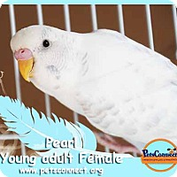 Adopt A Pet :: Pearl - South Bend, IN