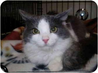 Maine Coon Cat for adoption in San Ramon, California - Rhonda Lee